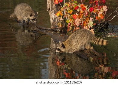 Raccoons (Procyon lotor) One Leans Out Over Water Autumn - captive animals