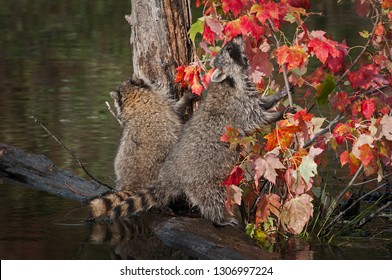 Raccoons (Procyon lotor) Sniffs at Leaves Autumn - captive animals