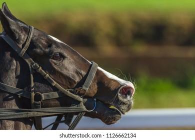 Race Horse Closeup head nostrils running action photo detail.