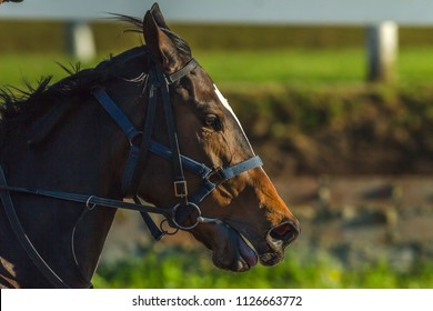 Race Horse Closeup running head nostrils action photo detail.