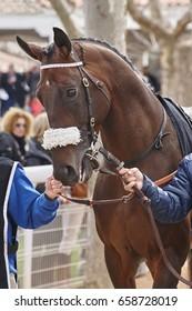 Race horse head ready to run. Paddock area. Vertical