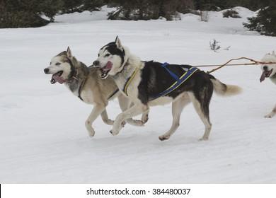 Race of sled dogs on the Italian alps