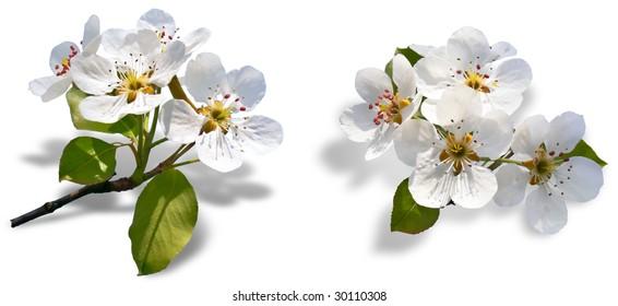 Raceme flowering apple trees on white background