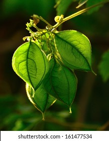 Raceme with several green fruit capsules of physalis plant hanging from the thin branch, on unfocused natural background