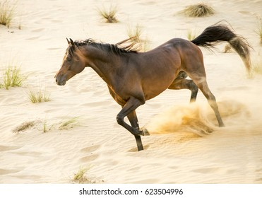 Racing Arabian stallion in the desert