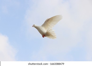 A Racing breed of White Color High Flier domestic pigeon Trained for the sport of pigeon racing