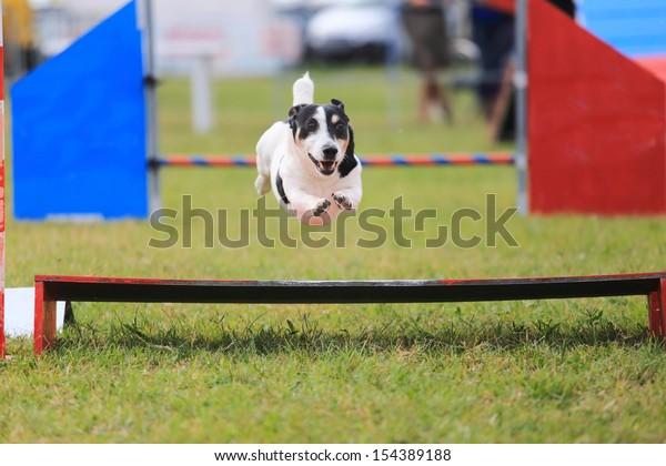 racing dog for agility