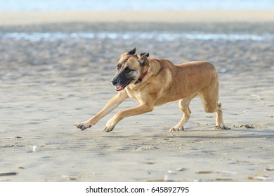 Racing dog on the beach makes sharp turn