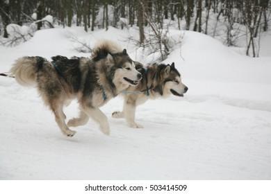 racing dogs husky