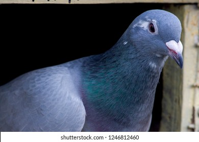 A Racing Homer or Omar is a breed of domestic pigeon that has been selectively bred for more speed and enhanced homing instinct for the sport of pigeon racing.