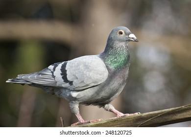 Racing Pigeon Images, Stock Photos & Vectors | Shutterstock