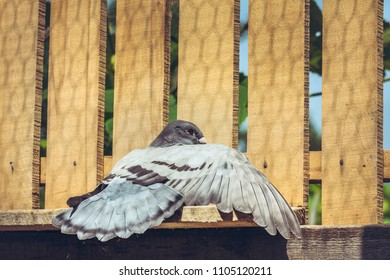 Racing pigeon female spreading her wing and tail and enjoying a sunbath on a wooden roost.