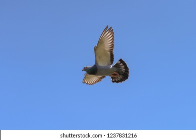 The racing pigeon flies with its wings wide in the blue sky and the light shines through its wings.
