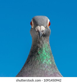 A racing pigeon poses in front of the lens of the camera