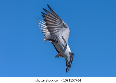 Racing pigeon prepares for landing and is coming home after the race.