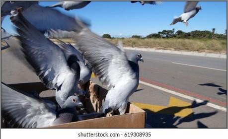 Racing Pigeon Images, Stock Photos & Vectors   Shutterstock