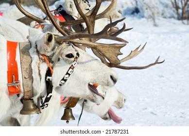 racing of reindeers in time of russian north festival