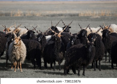 The racka sheep of the Hungarian breed