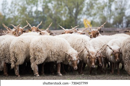 Racka Sheep of Hungary