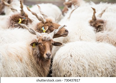 Racka Sheep of Hungary