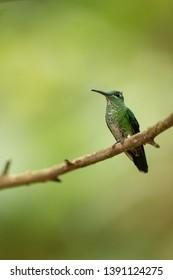 Racket-tail Hummingbird, - On A Perch