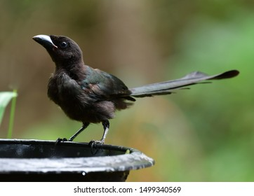 The racket-tailed treepie (Crypsirina temia) is an Asian treepie, a member of the crow family, Corvidae.It has a velvety-black forehead of short, plush black feathers with the rest of the bird.