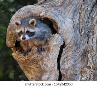 Racoon Baby in Tree Nest
