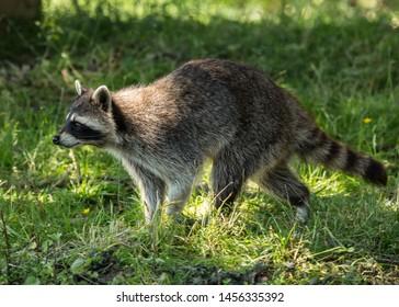 Racoon  (captive) . Single animal sitting or walking.
