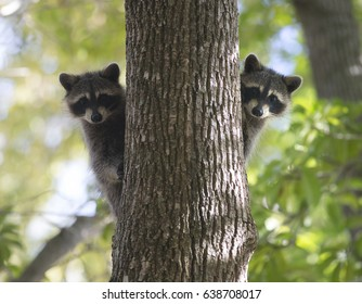 Racoon carnivore mammal in the wild Procyon lotor