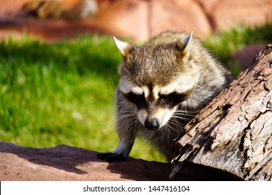 Racoon Climbing on Rocks and Tree Branch.  Cute Racoon Close Up in the Late Afternoon on a Sunny Day.