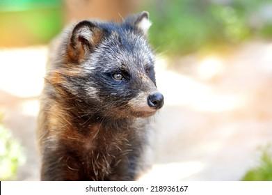 Racoon Dog (Nyctereutes procyonoides) portrait