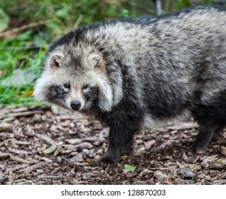 Racoon dog stading on brown earth