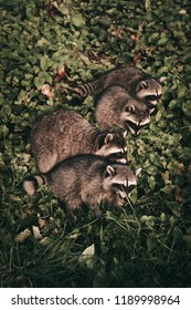 Racoon family having a dinner in a Park. Racoons often raid the trash bins around the Third beach as it is easy meal for them. Be aware and pick up the rubbish after yourself.