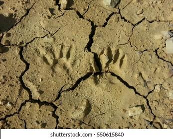 racoon footprints in dried desert clay.
