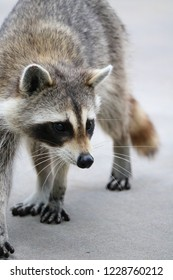 Racoon looking for food