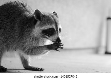 Racoon on the prowl for food