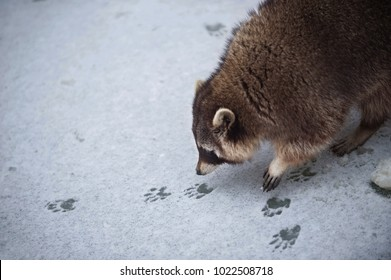 The Racoon on the Snowy Ice Sniffs to the Tracks of Another Racoon.
