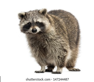 Racoon, Procyon Iotor,  standing, isolated on white