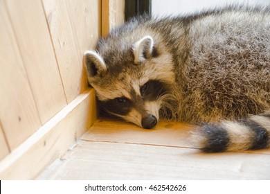 Racoon in room corner