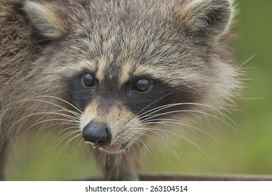 racoon-steeling-bird-food-shallow-260nw-