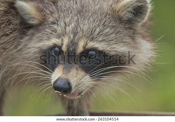 racoon-steeling-bird-food-shallow-600w-2