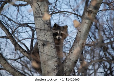 Racoon stuck in a tree the bandit caught in the act, stuck up a tree, busted