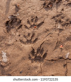 Racoon tracks in the dried flood water mud