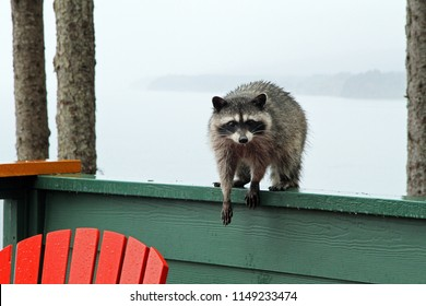 Racoon visitor at the cabin
