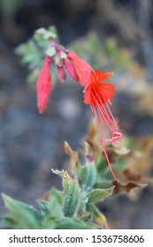 Radiant red tubular flowers are taxonomic indicators for this Southern Mojave Desert native plant in Joshua Tree National Park, casually as California Fuchsia, botanically under Epilobium Canum.