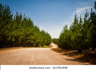 Radiata Pine Plantation, Gravel dirt road through pine forest. Winding track through a woodland plantation. Australia, New South Wales, Hampton State Forest.