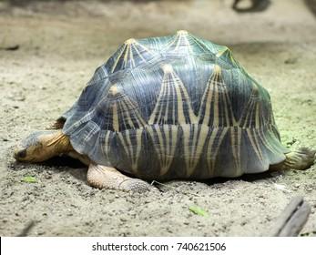 Radiated tortoise, Astrochelys radiata, a rare Madagascar turtle