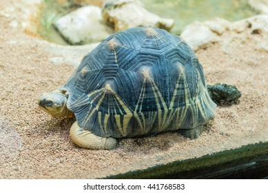 The radiated tortoise, endemic turtle from south of Madagascar, here at the zoo in Rome, Italy