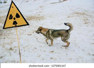 Radiation warning sign. Stray dog living in the Chernobyl zone.