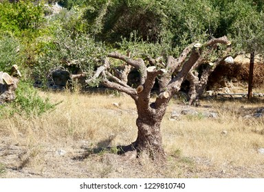 Radical pruning of an olive tree in Crete, Greece, Necessary for regenerating the branches to grow so that more harvested